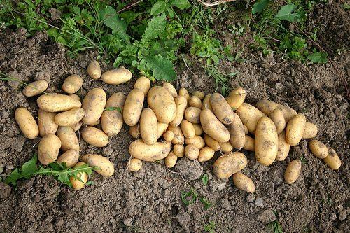 potatoes_garden