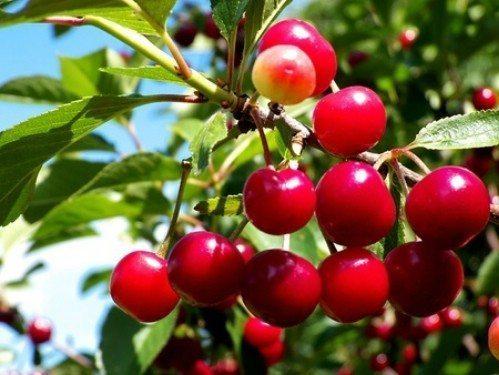 regrow-cherries