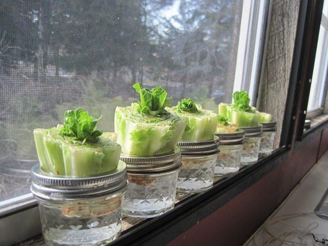 regrow-lettuce