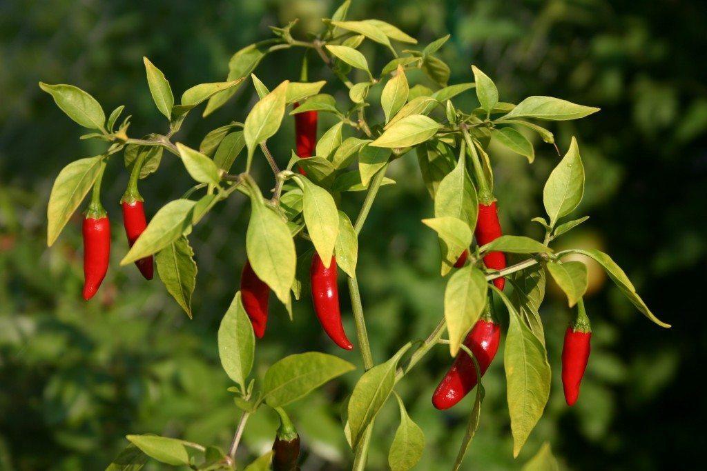 regrow-peppers